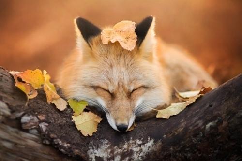 fox-autumn-animal (500x333).jpg