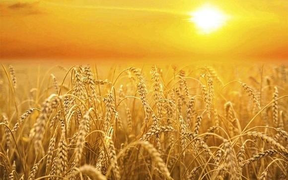 grainfield-sunset-gold.jpg