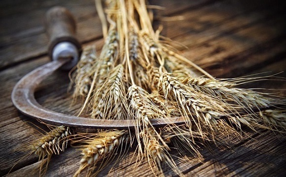 harvest-grain.jpg