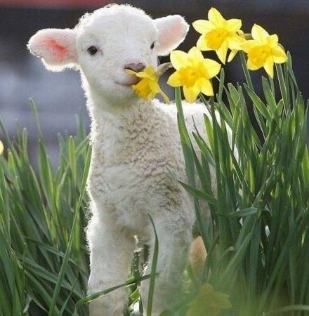 lambspring.jpg
