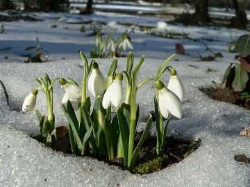 snowdoropimbolc.jpg